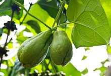 Photo of Kabakgillerden Diken Kabağı (Chayote)